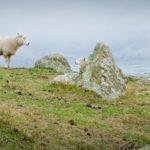 Ciekawostki o Nowej Zelandii - Owce