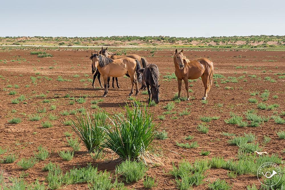Wolno się pasące stada koni przemierzają pustkowia w poszukiwaniu soczystej trawy.