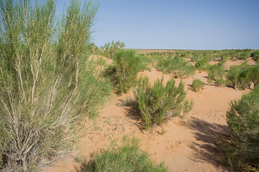 Rzekomo te rośliny mogą rosnąć nawet do 100 metrów wgłąb spieczonej słońcem ziemi w poszukiwaniu wody.