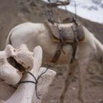 Aconcagua: film o mułach w Horcones